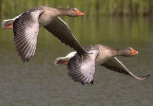 Весенняя охота на гуся: болото или поле?