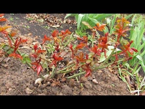 Подкормка роз весной после зимы и удобрения в течение всего периода цветения