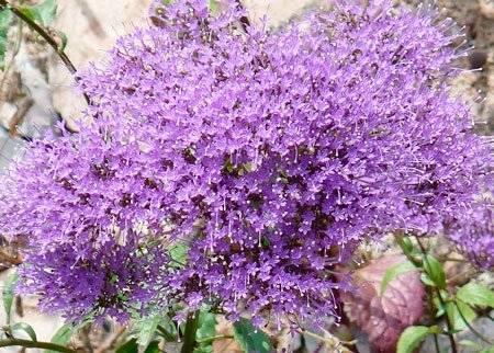 Каладиум (33 фото): уход за цветком в домашних условиях, описание видов растения. правила выращивания каладиума в открытом грунте