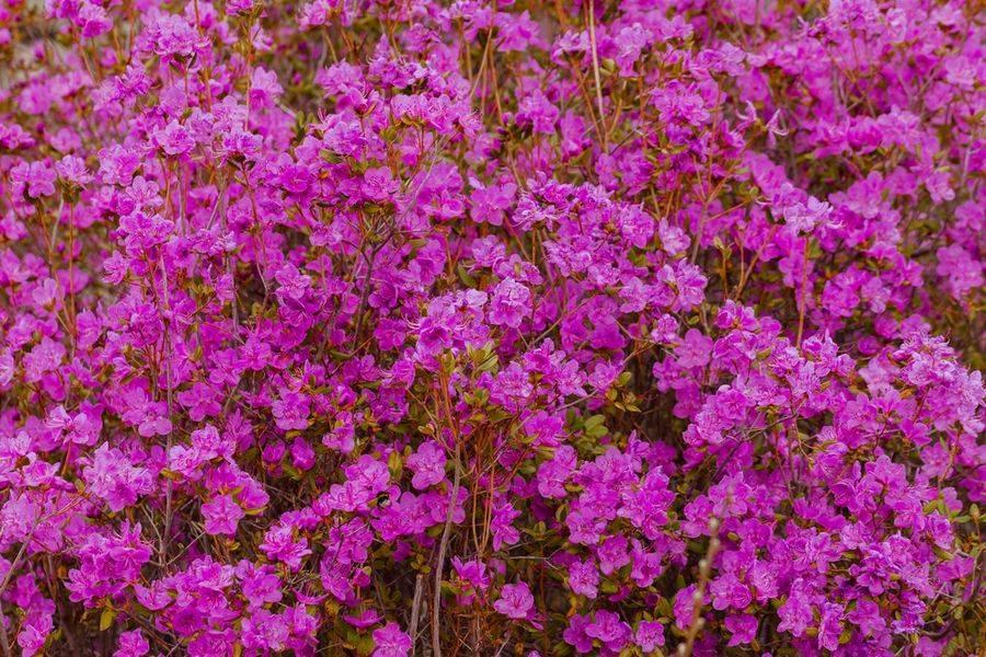 Рододендрон посадка и уход в подмосковье. особенности выращивания рододендрона