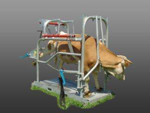 Как осуществляется искусственное осеменение коров
