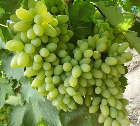 Виноград - тимур: описание сорта, фото, отзывы