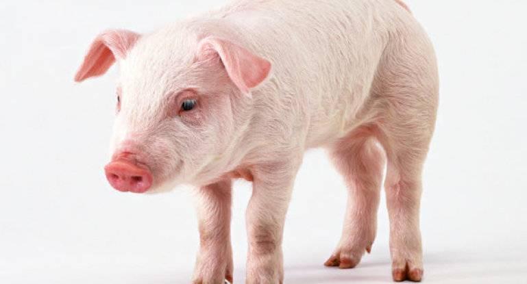 Крупная белая порода свиней • русская белая, сибирская, латвийская