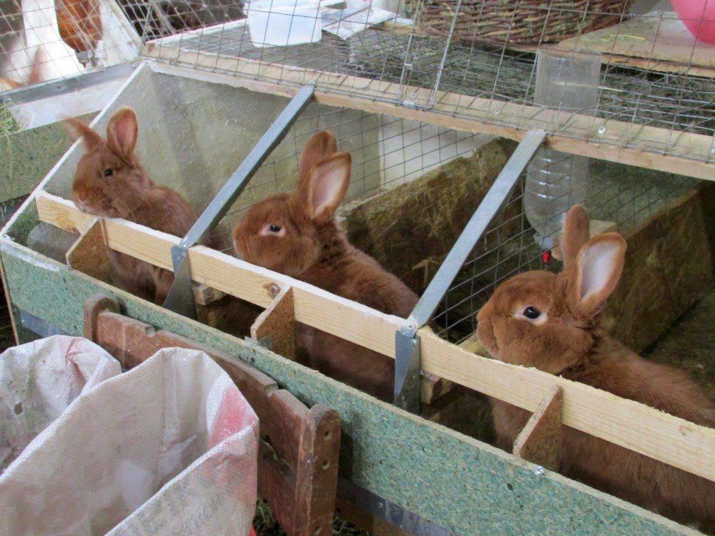 Выращивание кроликов как бизнес