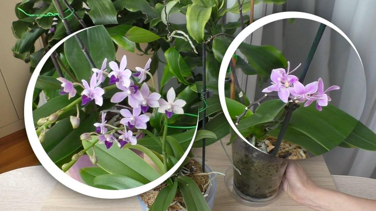 Эквестрии орхидея описание сорта. фаленопсис всадник (фаленопсис розовый, фаленопсис наездник). климат в естественных местах обитания
