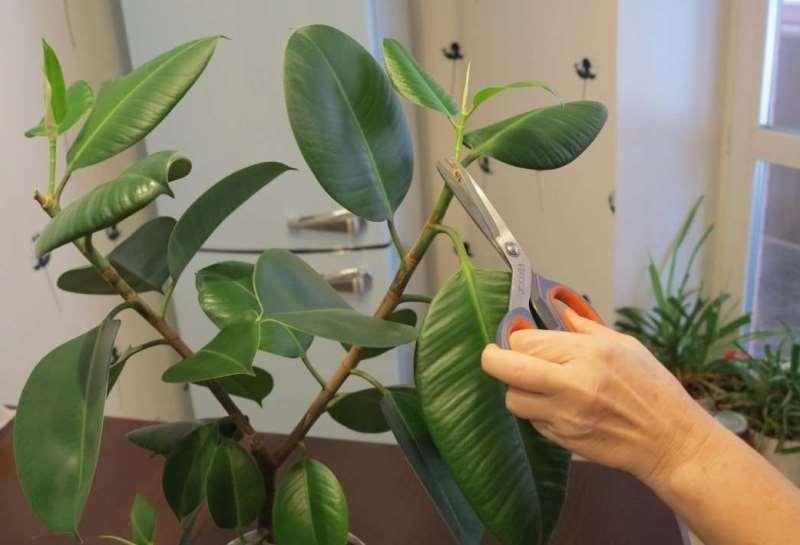 Выращивание фикуса эластика робусты: как посадить, ухаживать, удобрять, размножать