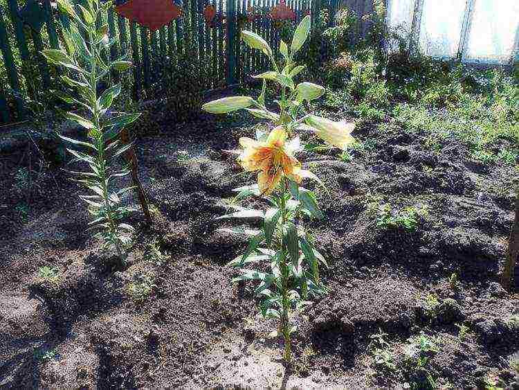 Лилии посадка и уход в открытом грунте разных сортов, фото и видео