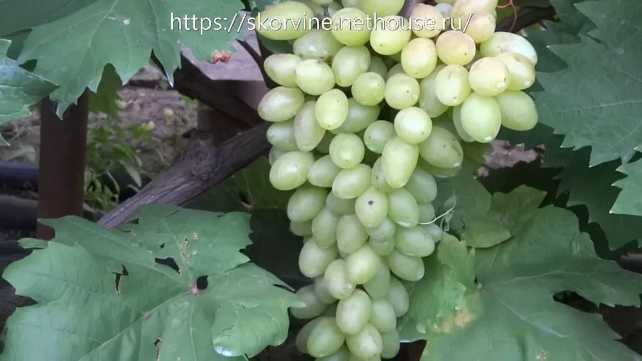 Лучший бескостный виноград «кишмиш лучистый»
