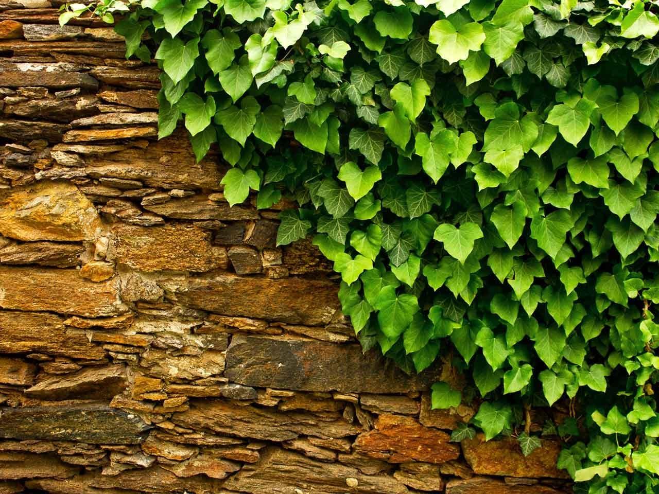 Плющ садовый вечнозеленый - размножение, посадка и уход