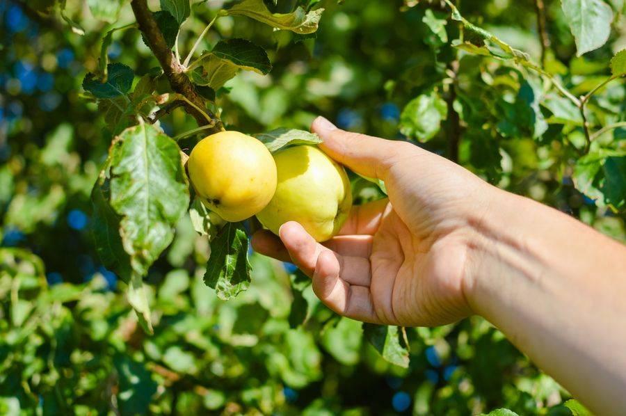 Яблоня долго китайка: описание сорта и его фото selo.guru — интернет портал о сельском хозяйстве