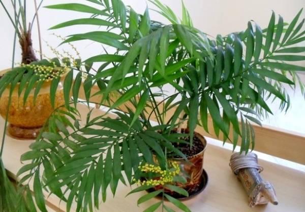 Хамедорея: уход в домашних условиях, пресадка и размножение, виды