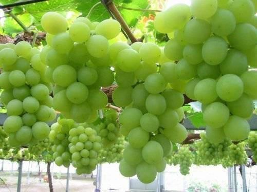 Сорт винограда виктор: описание, характеристики, выращивание и уход