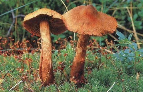 Гриб паутинник (cortinarius): где растет, виды, фото, калорийность