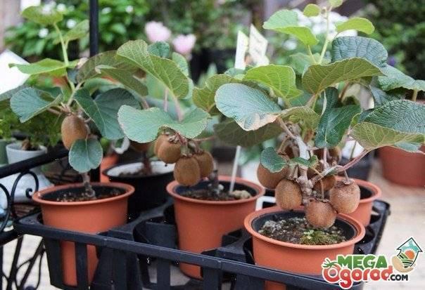 Выращивание киви из семян — уход за растением