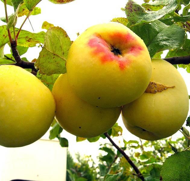 Сорт яблони антоновка десертное – описание, фото