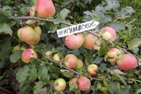Яблоня жигулевская: описание сорта и его фото, как правильно посадить и ухаживать selo.guru — интернет портал о сельском хозяйстве