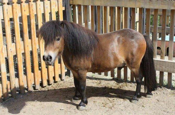 Карликовая лошадь стоимость внешний вид - oozoo.ru