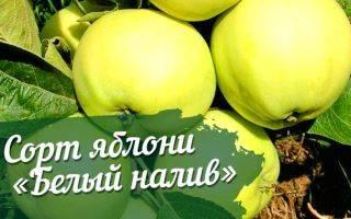 Сорт яблок белый налив: описание, полезные свойства, когда созревает