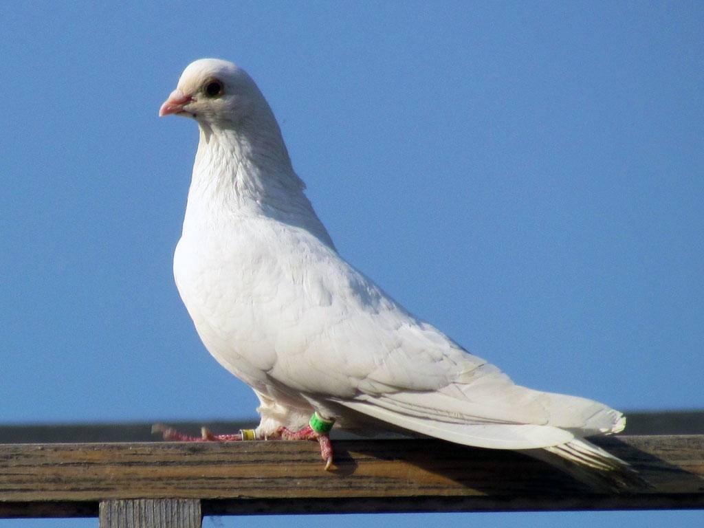 Какие болезни голубей наиболее распространены?