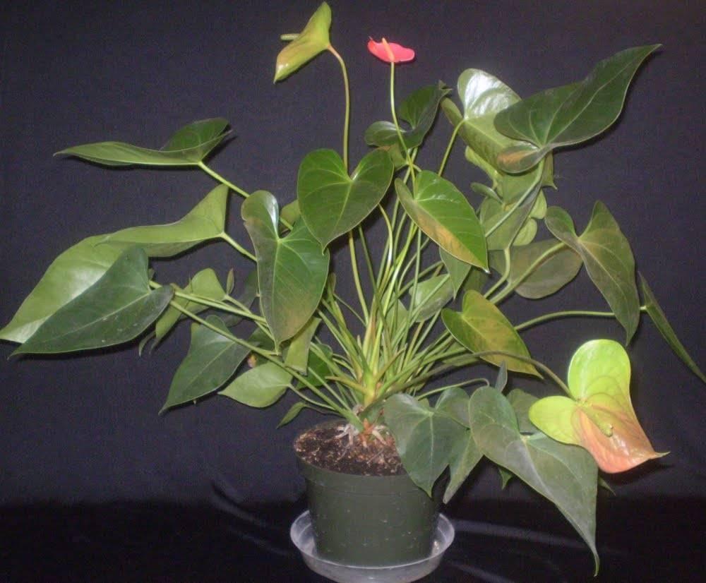 Плохо растет антуриум: что делать, как быстро обычно появляются новые листья и побеги у цветка мужское счастье и почему этого не происходит в домашних условиях?дача эксперт