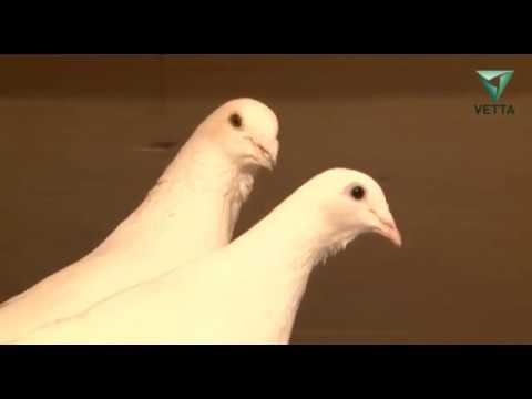 Почтовый голубь: описание пород, особенности разведения, содержания и обучения