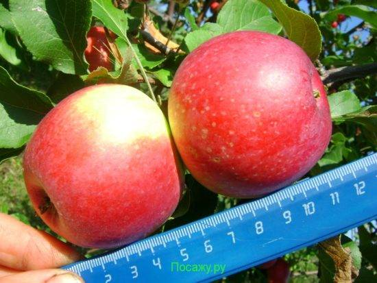 Особенности выращивания сорта яблони уэлси