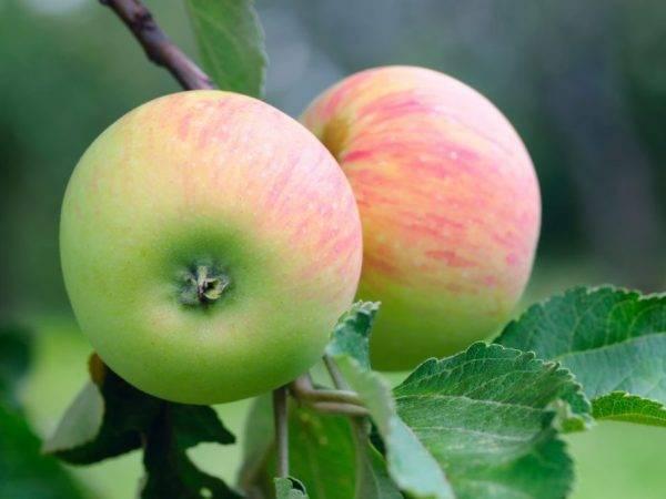 Сколько сахара содержится в яблоках