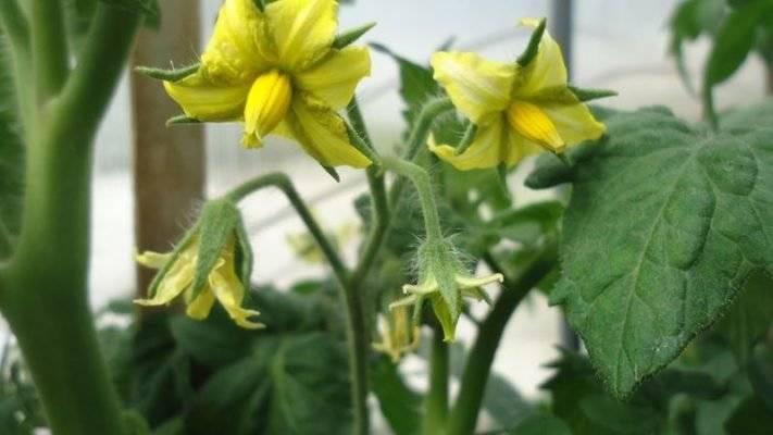 Почему не завязываются помидоры в теплице: причины и что делать | спутниковые технологии