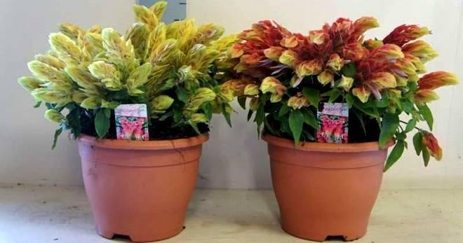 """Цветы белопероне в домашних условиях дарят уют - проект """"цветочки"""" - для цветоводов начинающих и профессионалов"""