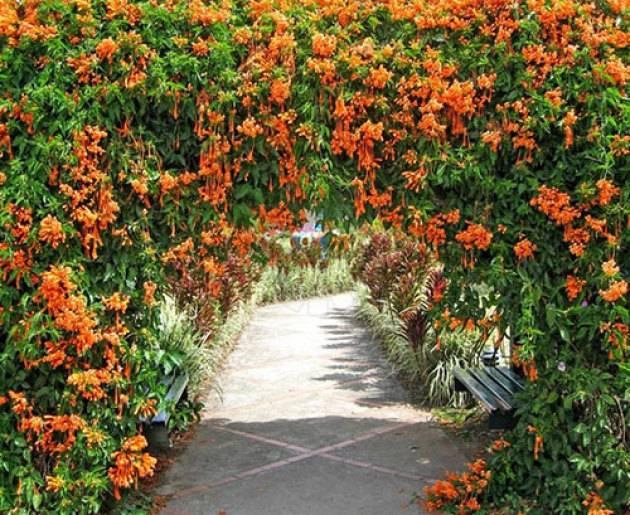 Жимолость декоративная вьющаяся для садового дизайна