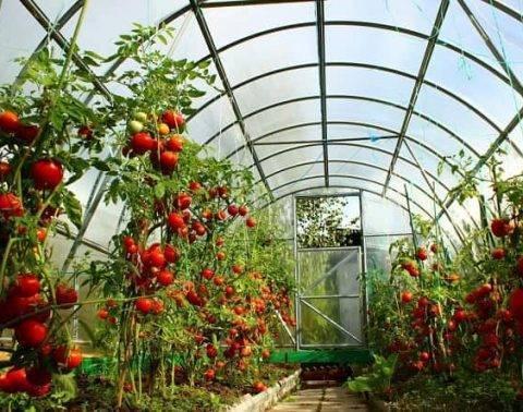 Получаем хороший урожай - нюансы подкормки помидоров во время их выращивания