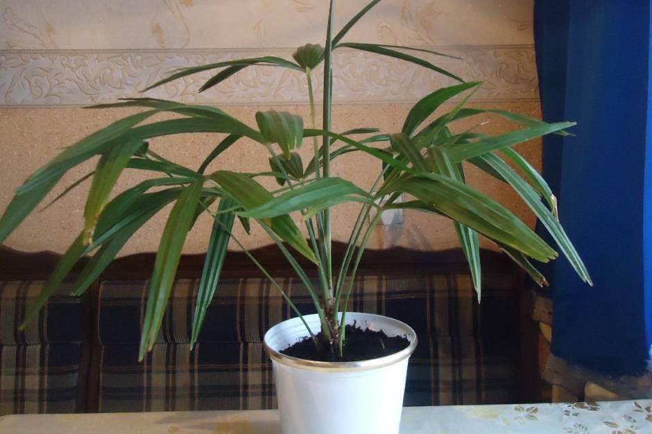 Как растут финики в природе? финиковая пальма: описание - sadovnikam.ru