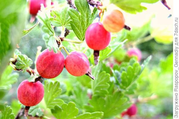 Крыжовник сорта для сибири: описание и выращивание, видео и фото