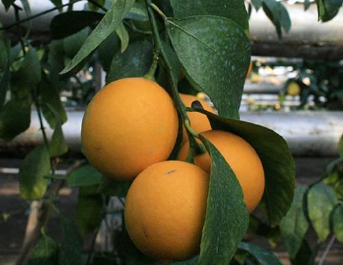 Что такое узбекский лимон