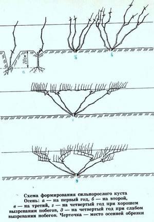 Обрезка винограда с первого года — пошаговая инструкция для четырехрукавной и веерной формировки.