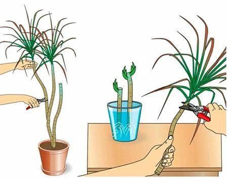 Юкка - уход в домашних условиях, размножение и пересадка – дачные дела
