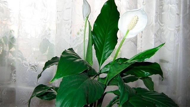 Спатифиллум уоллиса: фото, сорта, уход в домашних условиях, размножение