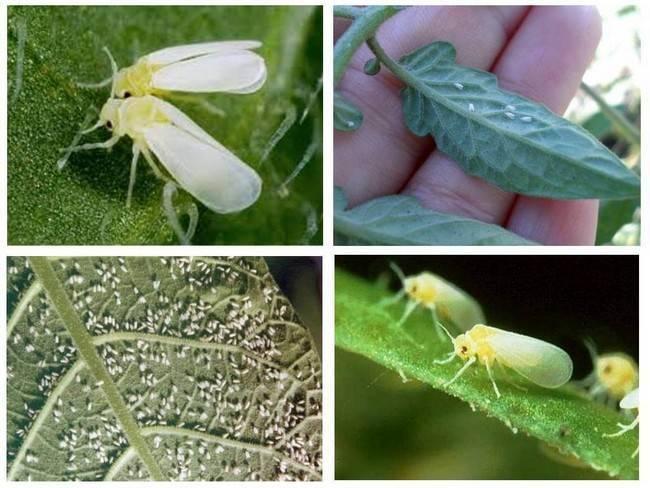 Борьба с капустной молью - химические препараты и народные средства