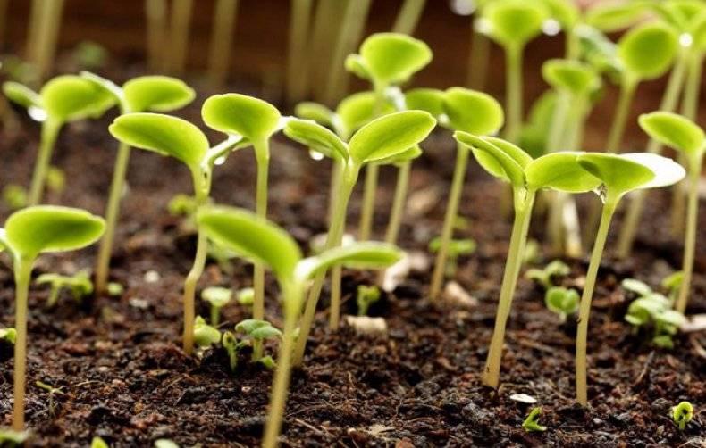 Через сколько дней всходит редис после посева и посадки в открытом грунте, при какой температуре он появляется, а также советы, как ускорить процесс, фото ростков русский фермер
