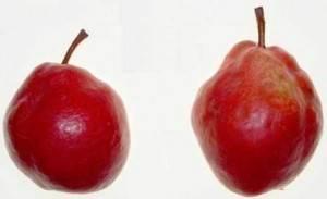 ✅ груша кармен: характеристика и описание сорта, плюсы и минусы выращивания, особенности посадки и ухода, фото - tehnoyug.com