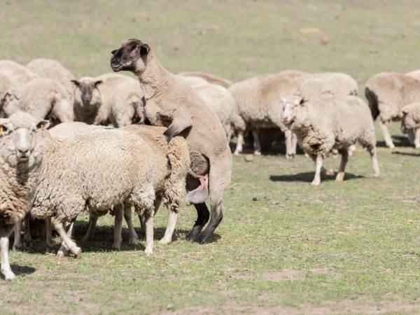 Как происходит окот овец: беременность животного и важные моменты