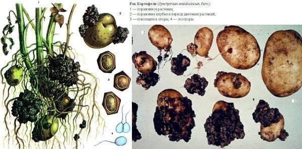Рак картофеля: что это такое, симптомы, признаки, лечение и профилактика, чем он опасен для человека, фото