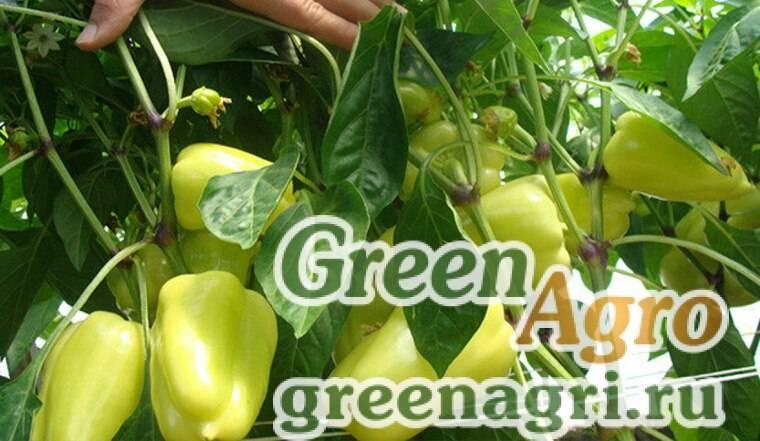 Крупный и сладкий сорт перца «биг герл»: отзывы дачников и их секреты выращивания