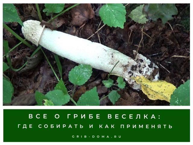 Как растет гриб Веселка
