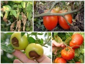 Помидоры малиновое чудо - описание и фото, отзывы