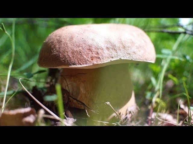 Грибы, растущие в березовом лесу или роще, съедобные осенние и весенние