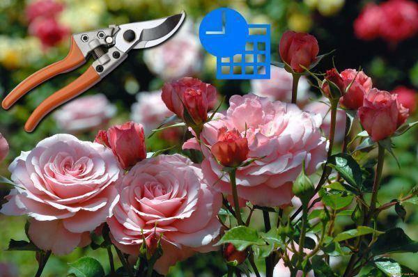 Как правильно обрезать розы на зиму