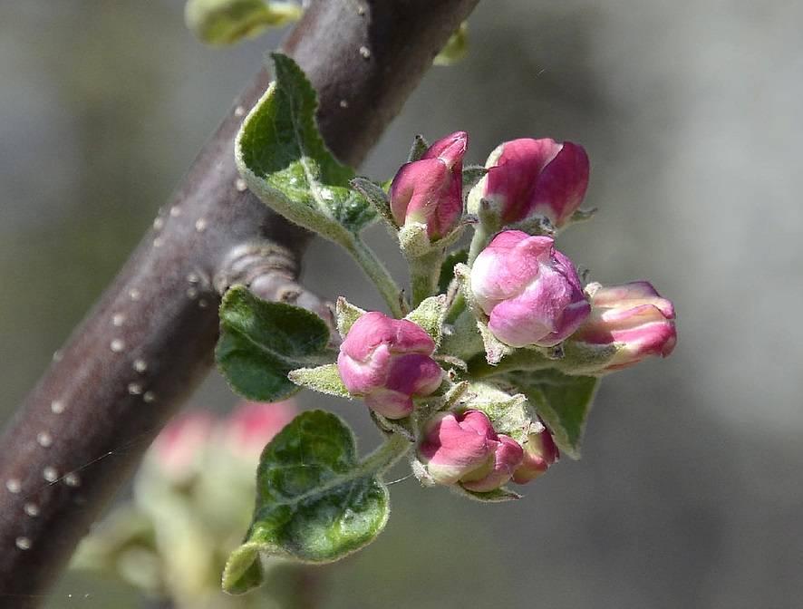 Как избавиться от парши на яблонях