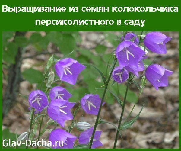 Особенности выращивания персиколистного колокольчика из семян