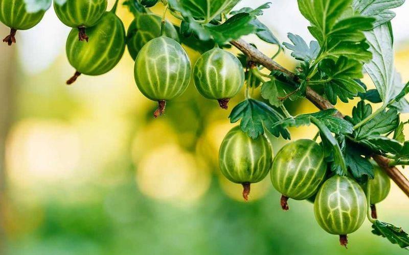 Сладкие сорта крыжовника: конфетный, даунинг, нино рэд, инвикта и другие   огородники